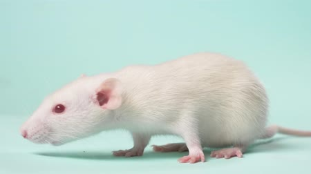 suíças : small white laboratory rat, on a blue background