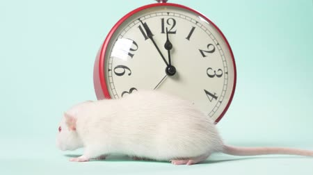 szczur : a cute white little rat next to an alarm clock that shows 11:55. five minutes before the new year. blue background, copy space