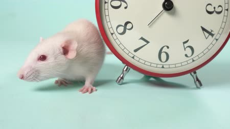 tlapky : a cute white little rat next to an alarm clock that shows 11:55. five minutes before the new year. blue background, copy space