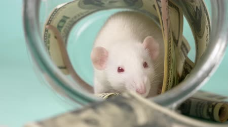 szczur : little white rat made a nest of dollars Wideo