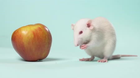 horoszkóp : white manual little rat washes sitting in front of an apple on a blue background
