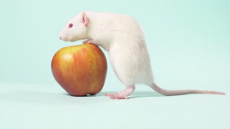 tlapky : white manual little rat washes sitting in front of an apple on a blue background