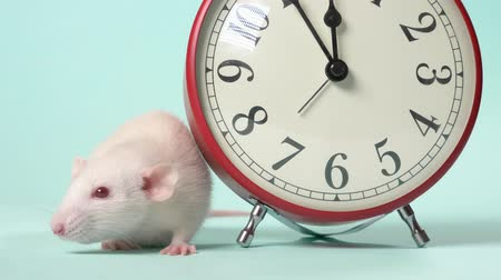 minutos : a cute white little rat next to an alarm clock that shows 11:55. five minutes before the new year. blue background, copy space