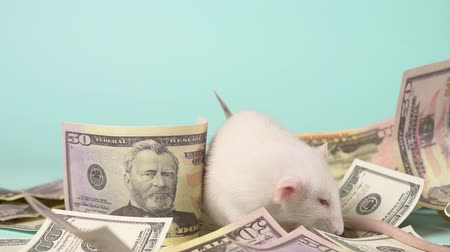 horoszkóp : little white rat made a nest of dollars Stock mozgókép