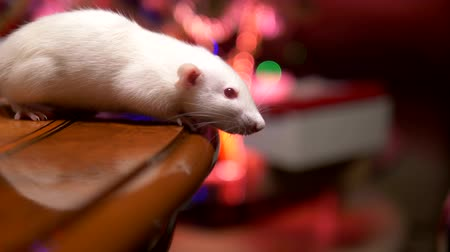 esplendor : white rat on a background of blurred lights Christmas tree. close-up. symbol of 2020. copy space