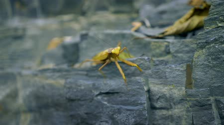 mantis : brown-green mantis on a rock. close-up. disguise as wilted leaves