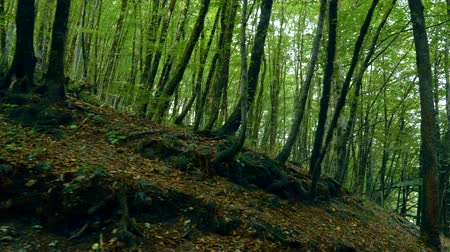 maravilha : thickets of green trees in a mountain forest.