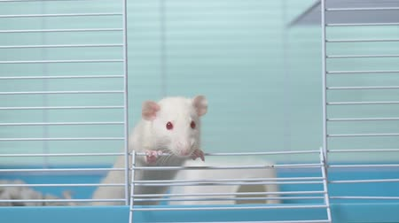 white rat in a cage. home pet. animal symbol of the year on the Chinese calendar.