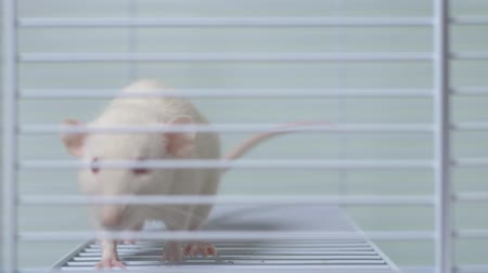 félénk : white rat in a cage. home pet. animal symbol of the year on the Chinese calendar.