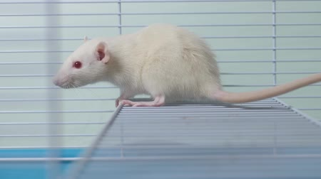 tlapky : white rat in a cage. home pet. animal symbol of the year on the Chinese calendar.