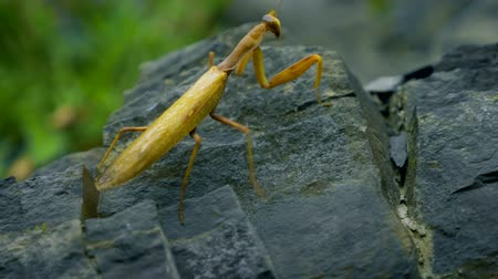 omurgasız : brown-green mantis on a rock. close-up. disguise as wilted leaves