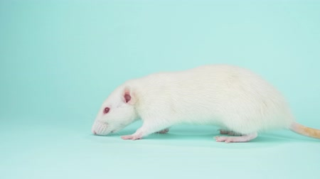 szczur : the white rat with red eyes on a blue background. copy space