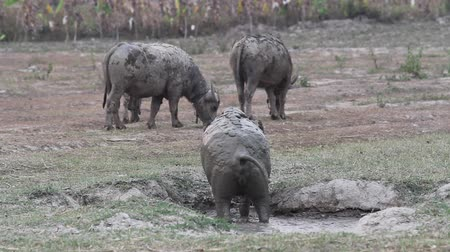 mother cow : Southeast Asian water buffalo walking up from muddy place