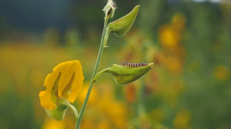 беспозвоночный : Caterpillar crawling on Sunn hemp or Crotalaria juncea flower