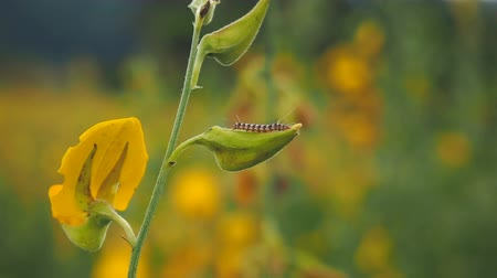 omurgasız : Caterpillar crawling on Sunn hemp or Crotalaria juncea flower