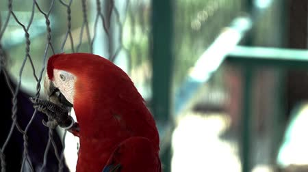 feathered : Parrot Ara, eats feed