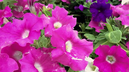 Petunia flowers, petals crouch in the wind, purple on the green lawn. A good clip for the holiday and congratulations.