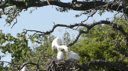 hnízdo : Great Egret with chicks in nest over a tree in florida.