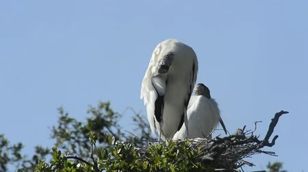 hnízdo : Clip of Wood Stork in nest on a tree.