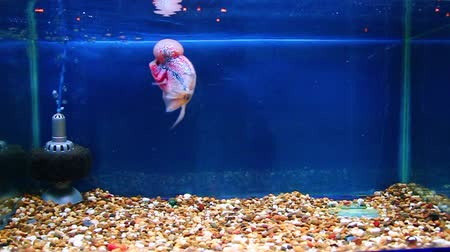 жемчуг : Flowerhorn in aquarium with blue background