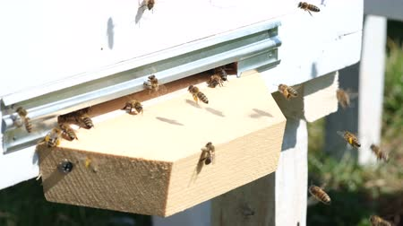 estames : The bees collect flower pollen and put it in a beehive of spring season. Apitherapy. Beekeeping products. Vídeos