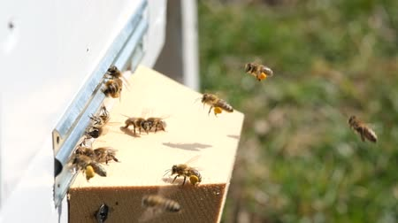 The bees collect flower pollen and put it in a beehive of spring season. Slow-motion video. Apitherapy. Beekeeping products. Stock Footage