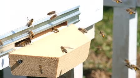 flying video : The bees collect flower pollen and put it in a beehive of spring season. Slow-motion video. Apitherapy. Beekeeping products. Stock Footage