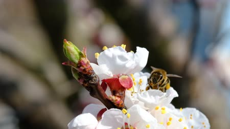 polinização : Bee collecting honey on a flowering tree in spring. Pollination of plants with bees. Slow-motion video.