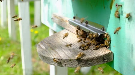 imkerei : The bees circle around the hive and put the freshly floral nectar and flower pollen inside the hive. Slow-motion video. Beekeeping products.