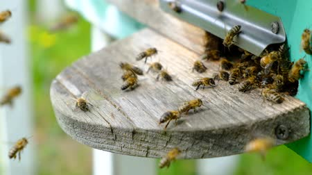 The bees circle around the hive and put the freshly floral nectar and flower pollen inside the hive. Slow-motion video. Beekeeping products.