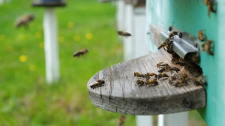 beporzás : The bees circle around the hive and put the freshly floral nectar and flower pollen inside the hive. Slow-motion video. Beekeeping products.