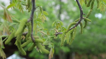 Walnut tree flowers in spring. Walnut flowers blooming on walnut tree branch in early springtime.