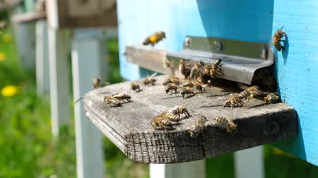 estames : The bees circle around the hive and put the freshly floral nectar and flower pollen inside the hive. Slow-motion video. Apiary. Vídeos