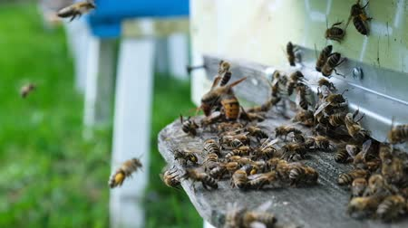 keeper : Bees attacked by hornets at the hive. Bee killer hornet . Slow-motion video. Stock Footage
