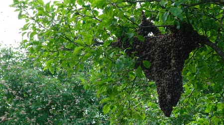 колония : Swarming bees. Formation of a new colony family bees. Bees that can fly at some point fly out of the hive. They re going on a branch of a tree. Slow-motion video. Стоковые видеозаписи