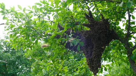 улей : Swarming bees. Formation of a new colony family bees. Bees that can fly at some point fly out of the hive. They re going on a branch of a tree. Slow-motion video. Стоковые видеозаписи