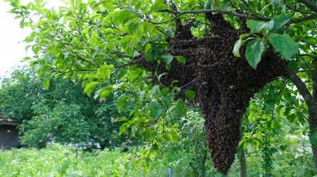 энтомология : Swarming bees. Formation of a new colony family bees. Bees that can fly at some point fly out of the hive. They re going on a branch of a tree. Slow-motion video. Стоковые видеозаписи
