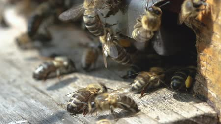 honeybee : The bees circle around the hive and put the freshly floral nectar and flower pollen inside the hive. Slow-motion video. Apiary. Stock Footage