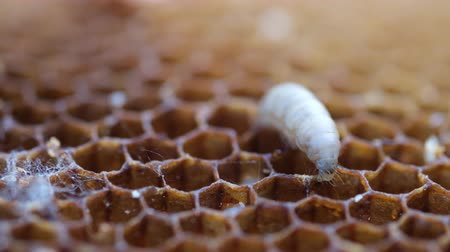 The larva wax moth bite honeycomb. Its larvae eat the wax, pollen, bee-bread and honey. Waxy Miles Destroy Bee Cells.