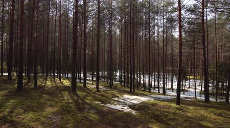 nordic countries : winter forest with melting snow in spring. Snow on moss