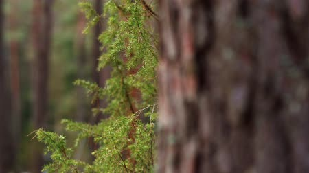 Forest close up to juniper and pine. Focus from juniper to pine