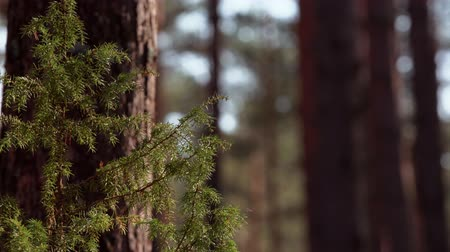 Mosquitos flying next to green juniper in forest