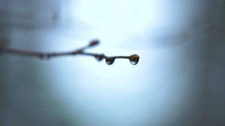 Waterdrops on branch of a tree. Shallow depth of field