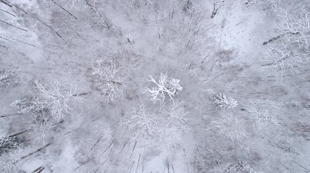 Winter landscape in the forest. Drone spins over interesting white tree