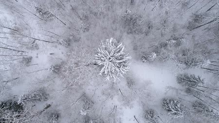 Winter landscape in the forest. Drone spins over beatifull white spruce