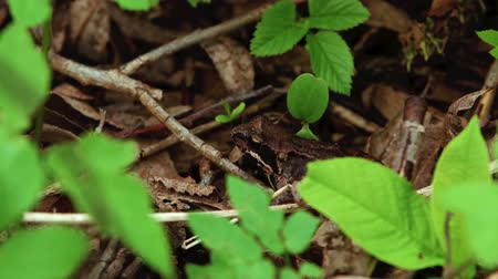 Brown frog in the forest 動画素材