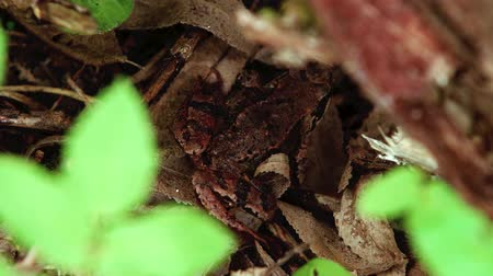 close up of the brown frog hiding in the forest Stok Video