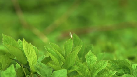 cow flies : Yellow bug on the green leaf takes off Stock Footage