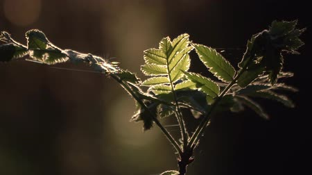 primeval : CINEMATIC CLOSE UP: small ashberry tree growing in wild forest. Sun shining through green leaves