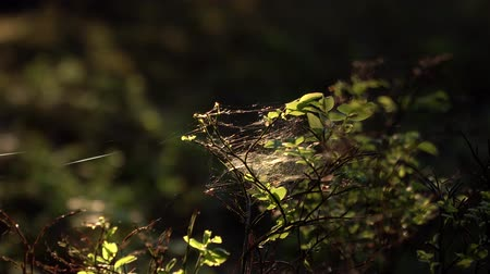 speck : Zoom in to tiny spider nets on the blueberry bush in the fairy tale forest Stock Footage